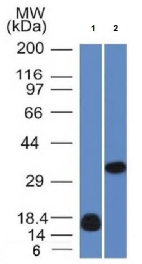 Western blot - Anti-Galectin 13/PLAC8 antibody [PP13/1161] - BSA and Azide free (ab218876)