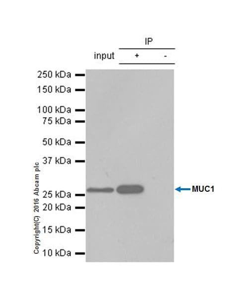 Immunoprecipitation - Anti-MUC1 antibody [EP1024Y] - Low endotoxin, Azide free (ab218998)