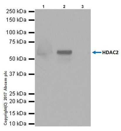 Immunoprecipitation - Anti-HDAC2 antibody [EPR20117] (ab219053)