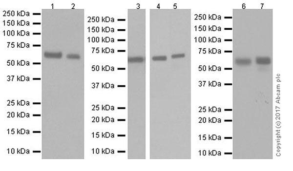 Western blot - Anti-HDAC2 antibody [EPR20117] (ab219053)