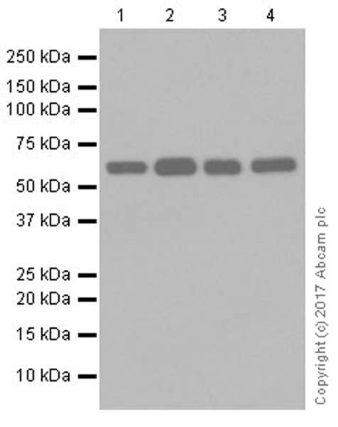 Western blot - Anti-HDAC1 + HDAC2 antibody [EPR20327] (ab219054)