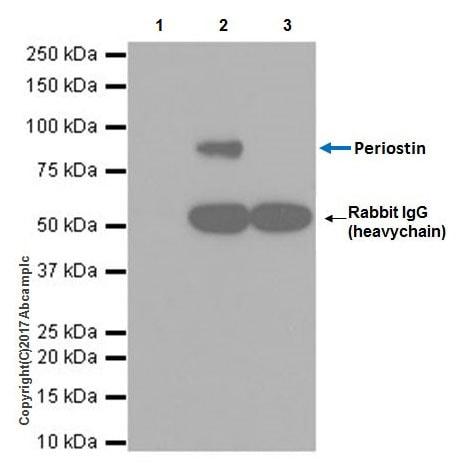 Immunoprecipitation - Anti-Periostin antibody [EPR19934] (ab219056)