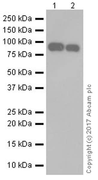 Western blot - Anti-Periostin antibody [EPR19934] (ab219056)