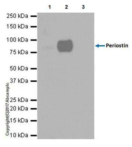 Immunoprecipitation - Anti-Periostin antibody [EPR19936] (ab219057)