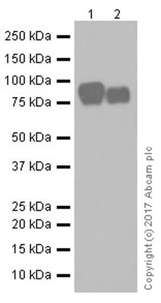 Western blot - Anti-Periostin antibody [EPR19936] (ab219057)