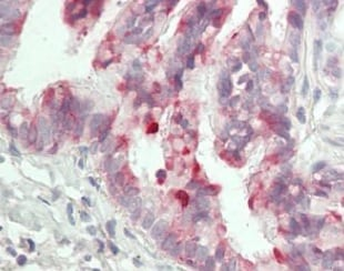 Immunohistochemistry (Formalin/PFA-fixed paraffin-embedded sections) - Anti-BPIFB1 antibody [2A5] (ab219098)