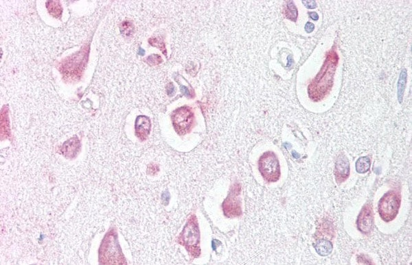 Immunohistochemistry (Formalin/PFA-fixed paraffin-embedded sections) - Anti-Lingo1 antibody (ab219110)