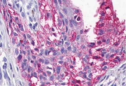 Immunohistochemistry (Formalin/PFA-fixed paraffin-embedded sections) - Anti-5HT4 Receptor antibody (ab219116)
