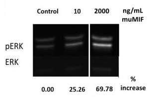 Functional Studies - Recombinant mouse MIF protein (Active) (ab219128)