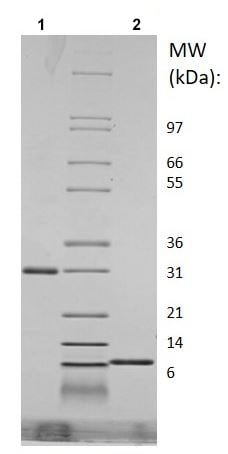 SDS-PAGE - Recombinant Mouse RELM Gamma protein (ab219132)