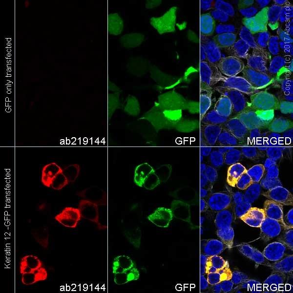 Immunocytochemistry/ Immunofluorescence - Anti-Keratin 12/K12 antibody [EPR17882] (Alexa Fluor® 594) (ab219144)