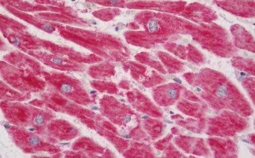Immunohistochemistry (Formalin/PFA-fixed paraffin-embedded sections) - Anti-NDUFB7 antibody (ab219151)