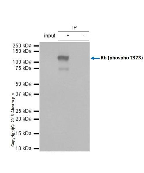 Immunoprecipitation - Anti-Rb (phospho T373) antibody [EP821Y] - BSA and Azide free (ab219158)