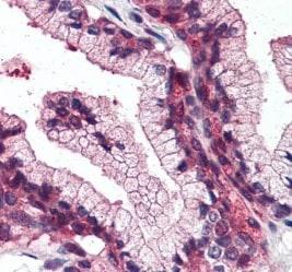 Immunohistochemistry (Formalin/PFA-fixed paraffin-embedded sections) - Anti-SLC39A14/ZIP-14 antibody (ab219174)