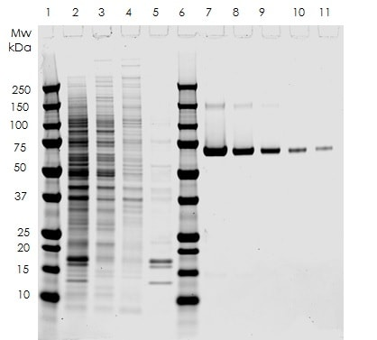 SDS PAGE analysis of HeLa cell fractionation using Nuclear Extract Kit ab219177.