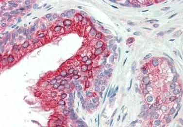Immunohistochemistry (Formalin/PFA-fixed paraffin-embedded sections) - Anti-ANKK1 antibody (ab219189)