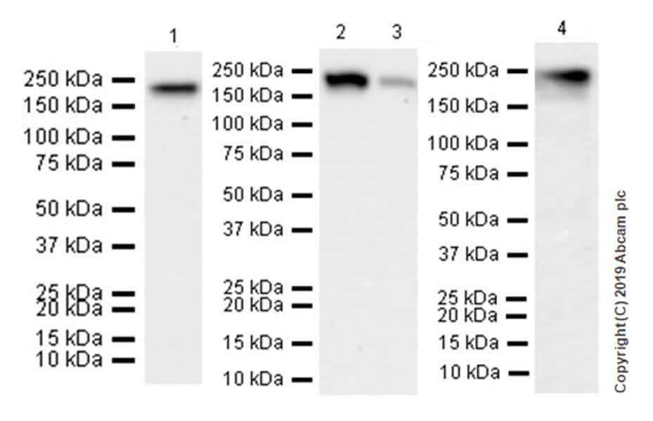 Western blot - Anti-ErbB 4 antibody [EPR22665-104] (ab219208)