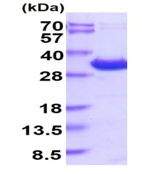 SDS-PAGE - Recombinant Human YWHAE protein (His tag) (ab219215)