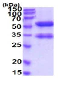 SDS-PAGE - Recombinant Human MMP14 protein (His tag) (ab219226)