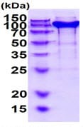 SDS-PAGE - Recombinant Mouse Neuropilin 1 protein (His tag) (ab219287)