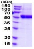 SDS-PAGE - Recombinant Human ENTPD3 protein (His tag) (ab219293)