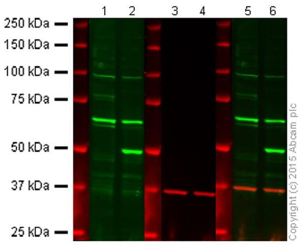 Western blot - Anti-PTEN antibody [Y184] - Low endotoxin, Azide free (ab219361)