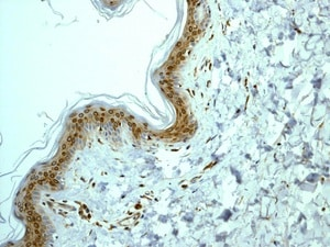 Immunohistochemistry (Formalin/PFA-fixed paraffin-embedded sections) - Anti-COX1 / Cyclooxygenase 1 antibody [EPR5866] - BSA and Azide free (ab219375)
