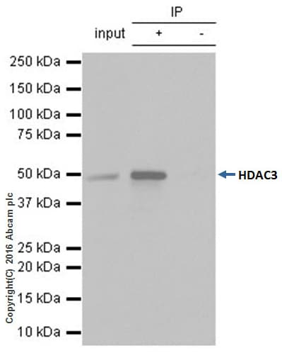 Immunoprecipitation - Anti-HDAC3 antibody [Y415] - BSA and Azide free (ab219376)