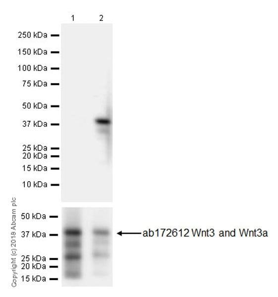 Western blot - Anti-Wnt3a antibody [EPR21889] (ab219412)