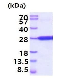 SDS-PAGE - Recombinant Mouse CREG1/CREG protein (His tag) (ab219460)
