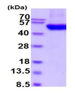 SDS-PAGE - Recombinant Human B3GNT1 protein (His tag) (ab219461)