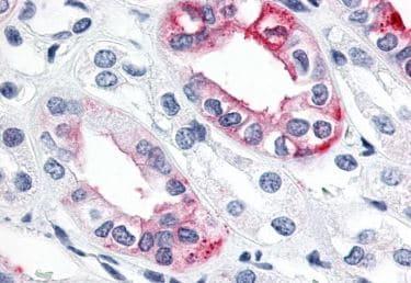 Immunohistochemistry (Formalin/PFA-fixed paraffin-embedded sections) - Anti-Estrogen Related Receptor gamma antibody - C-terminal (ab219547)