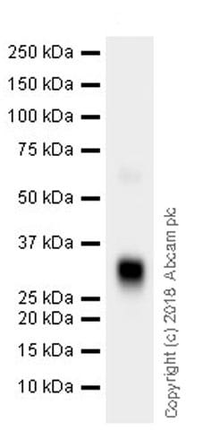 Western blot - Anti-IGFBP6 antibody [EPR21809] (ab219560)
