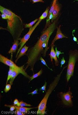 Immunocytochemistry/ Immunofluorescence - Anti-GAP43 antibody [EP890Y] - BSA and Azide free (ab219582)