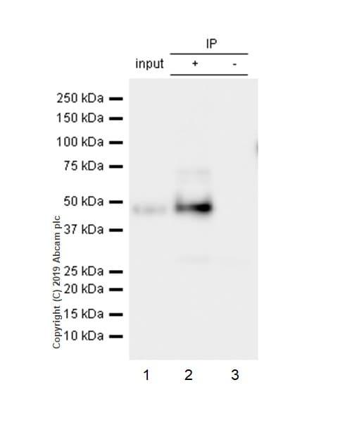 Immunoprecipitation - Anti-GAP43 antibody [EP890Y] - BSA and Azide free (ab219582)