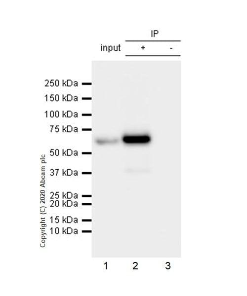 Immunoprecipitation - Anti-AKT3 + AKT2 + AKT1 antibody [Y89] - BSA and Azide free (ab219588)