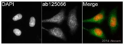 Immunocytochemistry/ Immunofluorescence - Anti-Glutathione Peroxidase 4 antibody [EPNCIR144] - BSA and Azide free (ab219592)