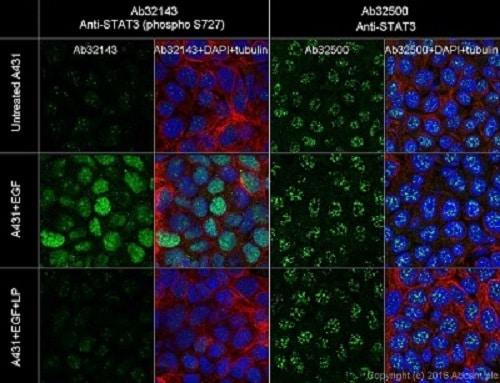 Immunocytochemistry/ Immunofluorescence - Anti-STAT3 (phospho S727) antibody [E121-31] - BSA and Azide free (ab219593)