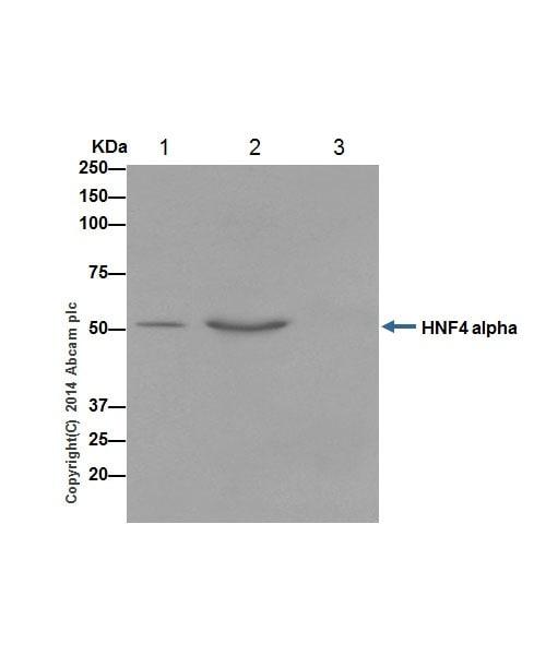 Immunoprecipitation - Anti-HNF-4-alpha antibody [EPR16885] - BSA and Azide free (ab219610)