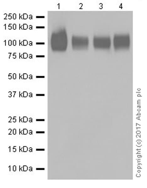 Western blot - Anti-CD276 antibody [EPR20115] (ab219648)