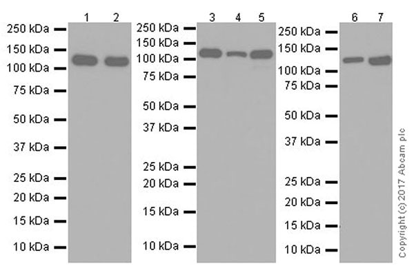 Western blot - Anti-Vinculin antibody [EPR20407] (ab219649)