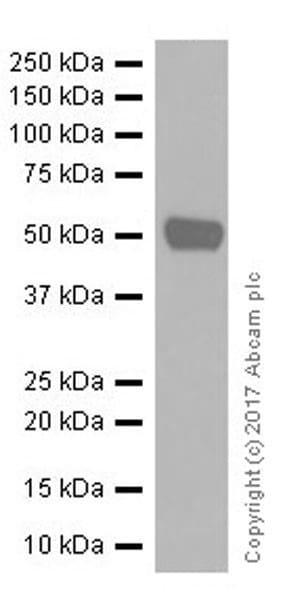 Western blot - Anti-PRAME antibody [EPR20330] (ab219650)
