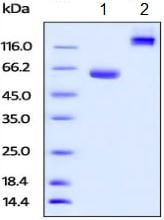 SDS-PAGE - Recombinant Human BTN1A1 protein (Fc Chimera) (ab219661)