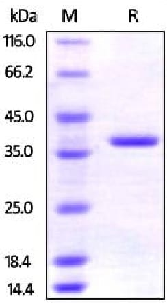 SDS-PAGE - Recombinant Human EMAP II/AIMP1 protein (His tag) (ab219664)