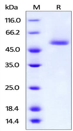 SDS-PAGE - Recombinant human BAFF protein (Active) (FITC) (ab219665)