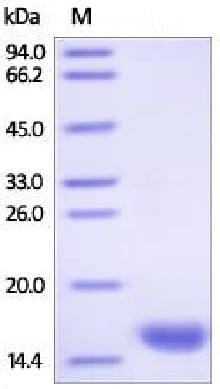 SDS-PAGE - Recombinant Human H-FABP protein (His tag) (ab219666)