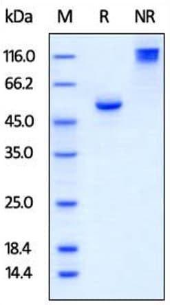 SDS-PAGE - Recombinant Human BTN3A1 protein (Fc Chimera) (ab219670)