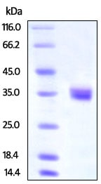 SDS-PAGE - Recombinant human IGFBP4 protein (Active) (ab219674)