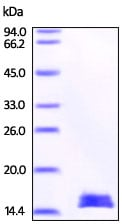 SDS-PAGE - Recombinant Mouse H-FABP protein (His tag) (ab219687)