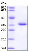 SDS-PAGE - Recombinant rhesus monkey IGFBP1 protein (His tag) (ab219692)